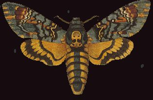 Papillon de nuit le Sphinx tête de mort