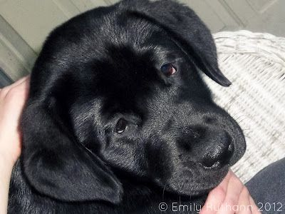 English Black Lab Cassie Parents Chocolate Chip X Tala Eternity Is Closer Than You Think With Images Labrador Dog Pet Dogs Black Labrador