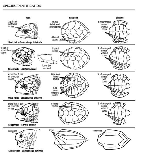 Hawksbill Sea Turtle Diagram Illustration Of Wiring Diagram