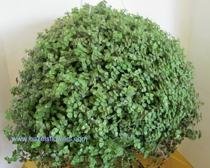 Bolivian Jew Mouse Ear Ivy Gardening Hanging Plants