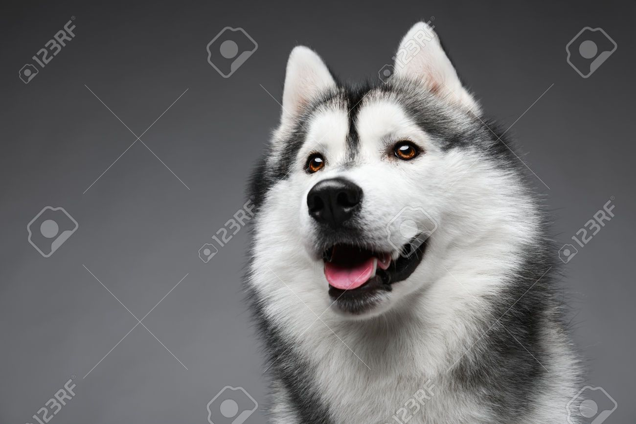 Stock Photo Siberian Husky Funny Siberian Husky Dog Dog Breeds