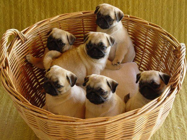 Basket Of Joy Pugs Cute Pugs