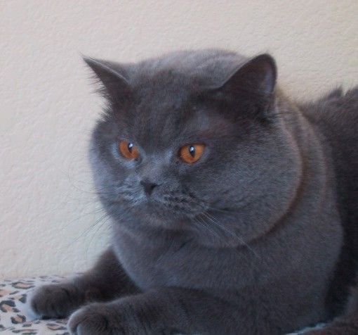British Shorthair And Scottish Fold Cats Colors We Breed British Blue Cat Pedigree Cats Cat Species