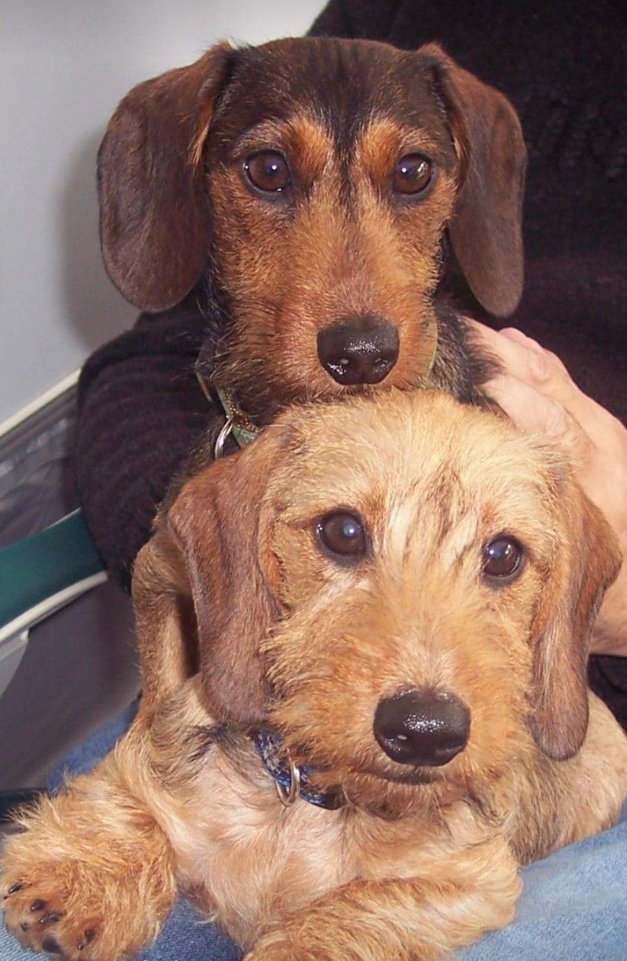 Pin By Malinda Barnhardt On Doxies Wire Haired Dachshund