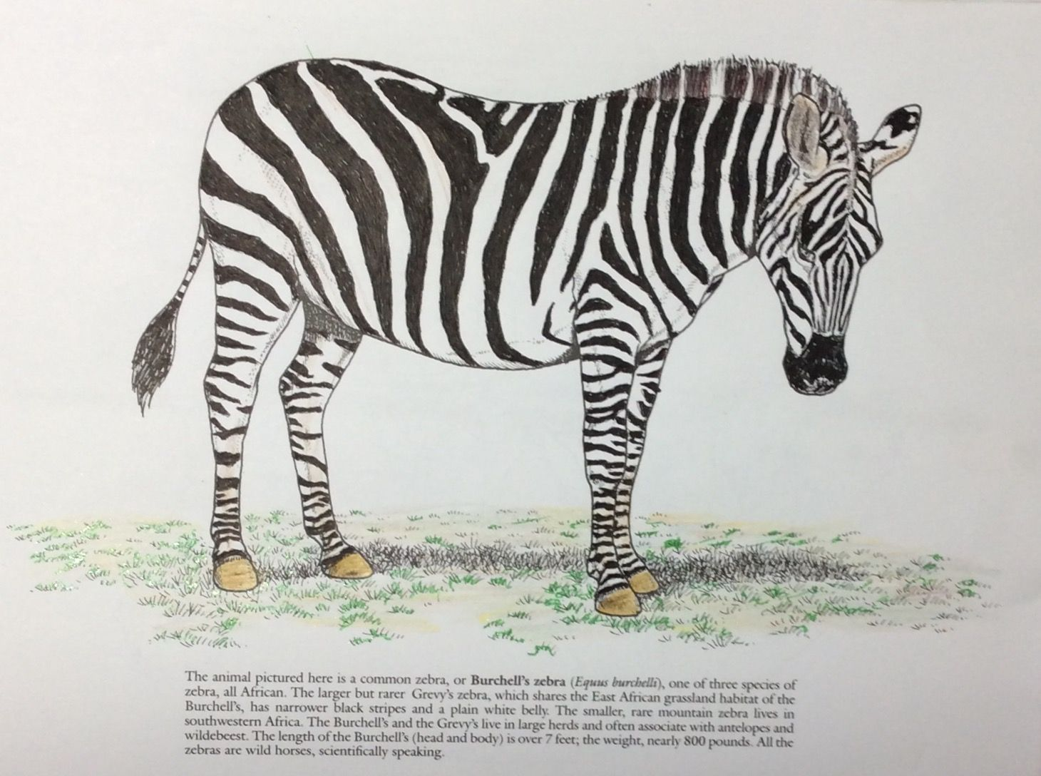 Coloring Pages For Zebra : Pin by jim thurgood on wild animals coloring book by john green