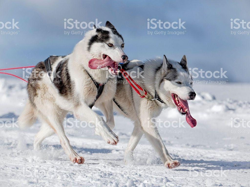 Two Panting Siberian Huskies Running Through Lonely Winter