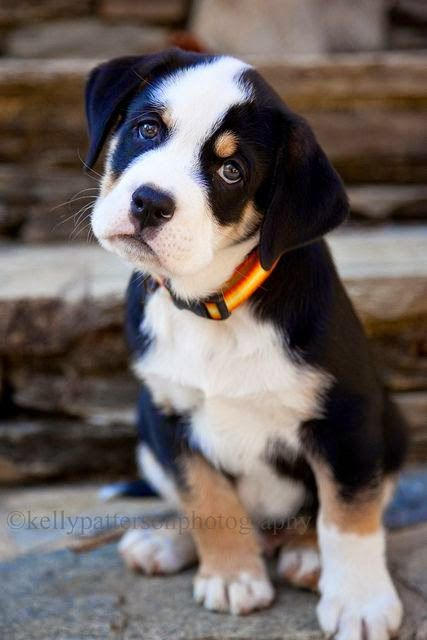 Top 5 Most Cute Dog Breeds Quincy An English Bulldog And Greater