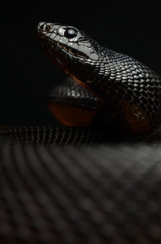 Scorpius S Other Snake Hades Snakes Reptiles Topanimals Black Mamba Snake Snake Pine Snake