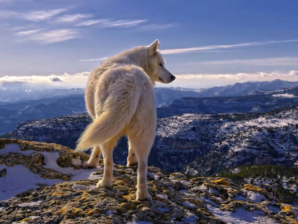 GORGEOUS and FREE wolf ! <3