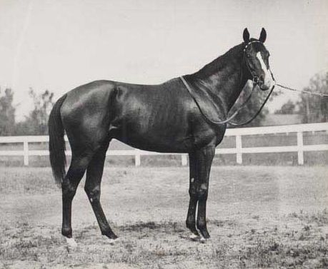 """This is Gallant Fox, the 1930 Triple Crown winner. Known as the """"Fox of Belair"""" to his many fans, the Fox is the only Triple Crown winner to sire a TC winner---his son Omaha captured the crown in 1935."""
