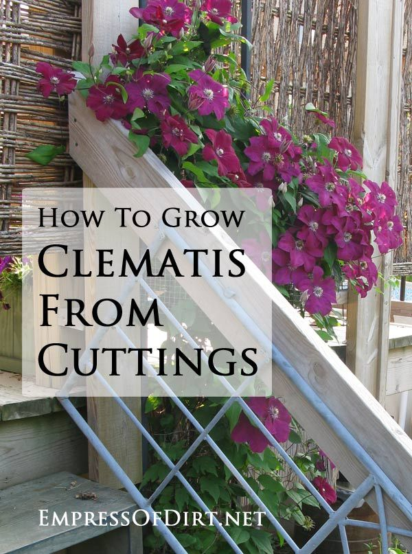 How To Grow Clematis From Cuttings Empress Of Dirt Plants Lawn And Garden Garden Vines