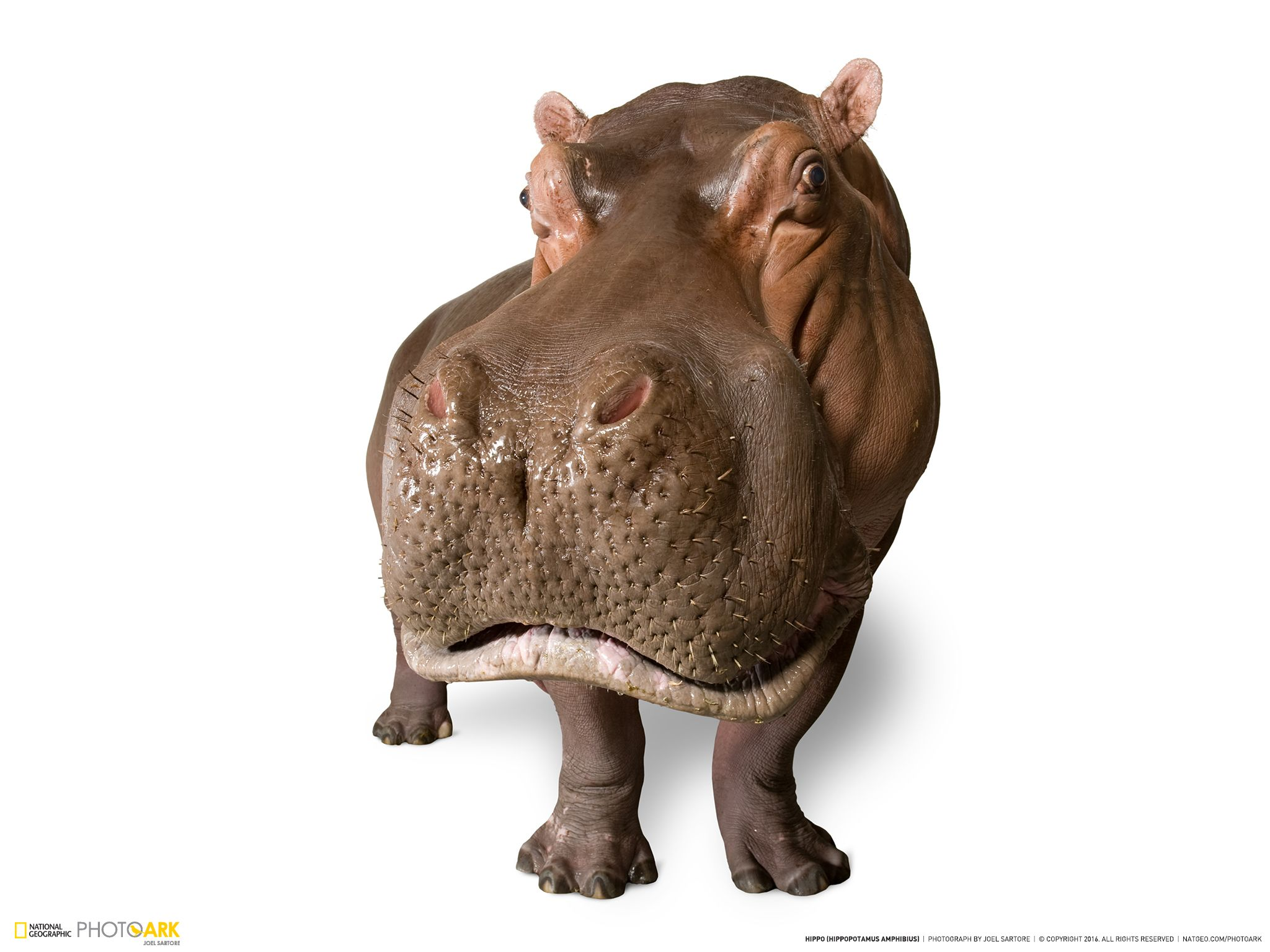 national geographic photo ark hippo wallpaper animals