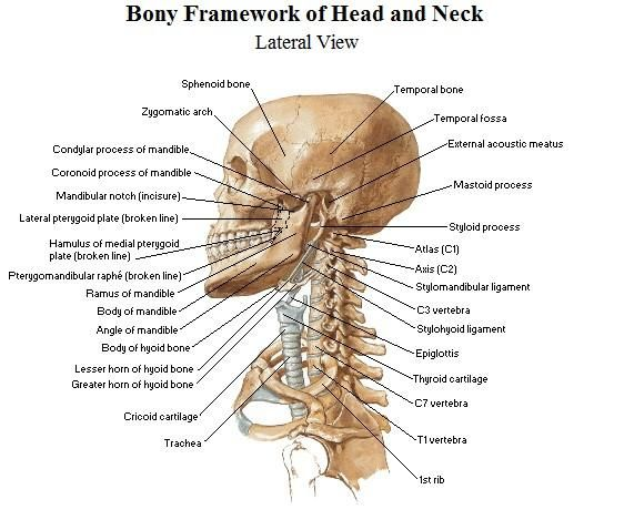 human skull top view - google search | the head and neck, Skeleton