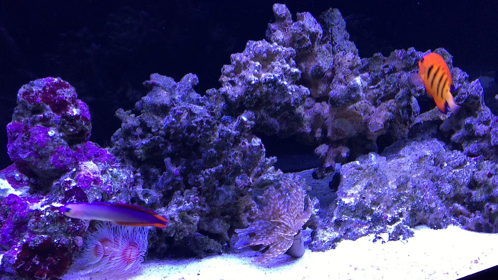 Below Are A Feather Duster And Hawaiian Worm Swimming By Are A Few Fishy Friends Reef Aquarium Rocks And Crystals Fishy