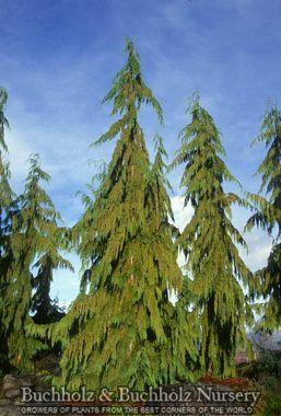 Chamaecyparis Nootkatensis Pendula Weeping Alaskan Cedar An Evergreen Conifer With A Narrow Pyramidal Form The L Landscape Trees Garden Trees Beautiful Tree