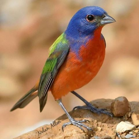 WEBSTA @ bird_brilliance - .Bird Brilliance Presents: @nolan_allen69…
