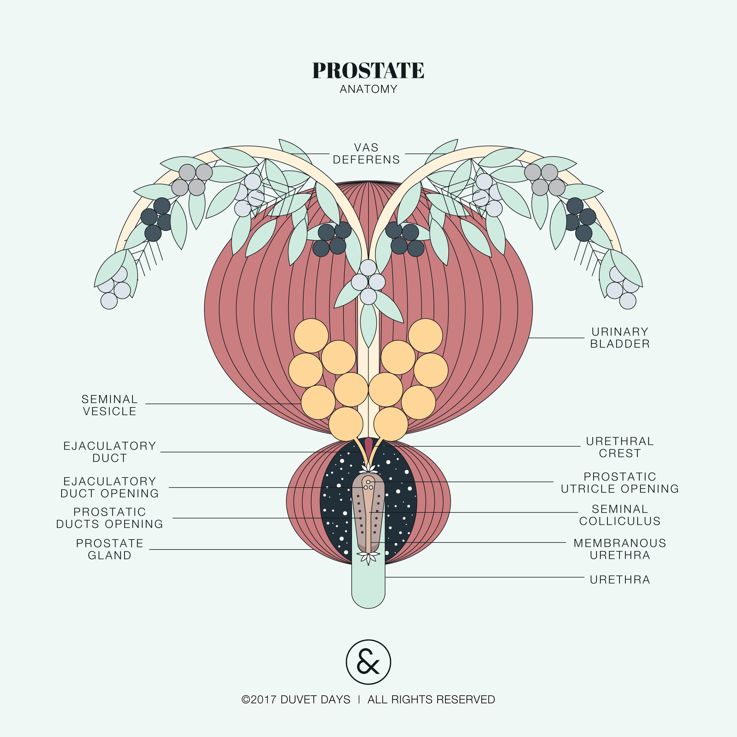 Prostate Anatomy Illustration Please Email Helloduvetdays For