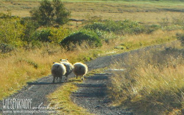 Alles über die Schafe in Island, wo man handgestrickte