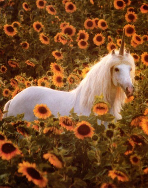 Unicorn amid sunflowers....