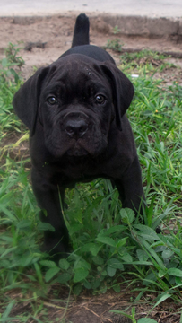 Cane Corso puppy for sale in TAMPA, FL. ADN33254 on