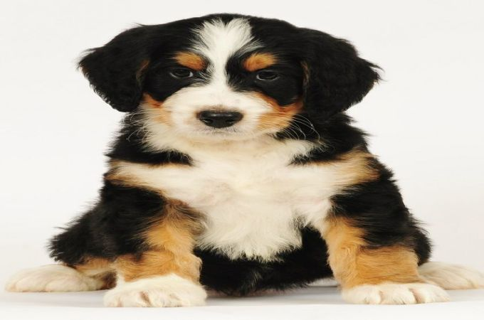 Bernedoodle A Poodle And A Bernese Mountain Dog Mixed Breed Puppies Bernedoodle Hybrid Dogs