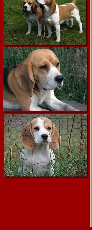 Beagle Beagle