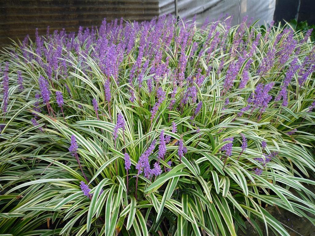 Monkey Grass Seed Liriope Muscari Ornamental Grass Seeds Shade Perennial Evergreen Foliage And Viole Edging Plants Variegated Plants Variegated Liriope