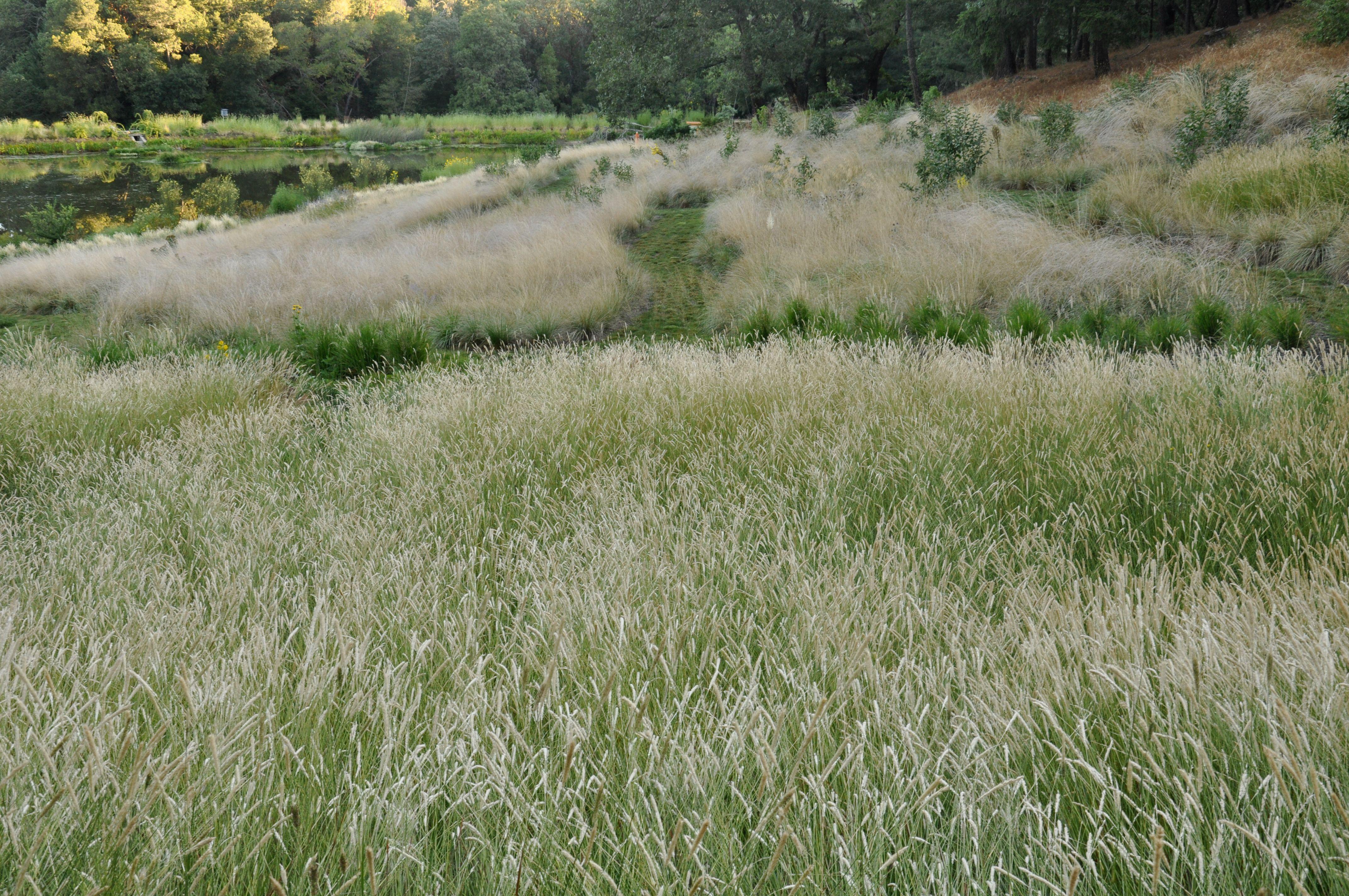 Pennisetum spathiolatum image from john greenlee for Ornamental prairie grass