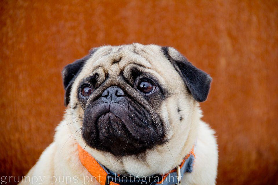 Seattle Pug Www Grumpypups Com Pugs Boxer Dogs Dogs