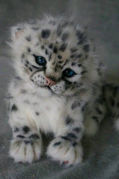"""I found that some think this is a Main Coon kitty and others say a baby Snow leopard""""?? Whatever...it's beyond adorable!"""