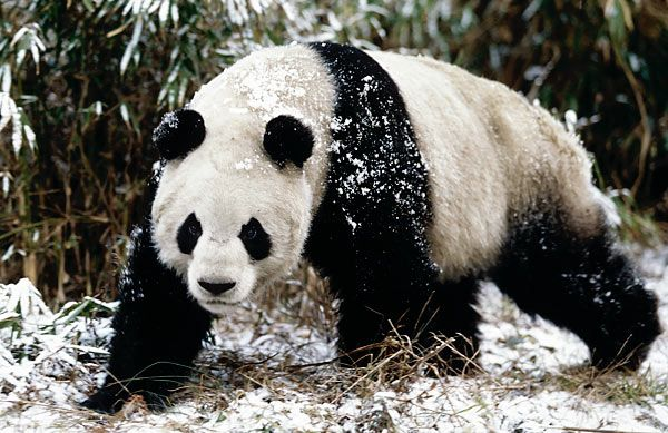 Panda Bear Facts For Kids | Amazing Giant Panda Bear Facts For ...