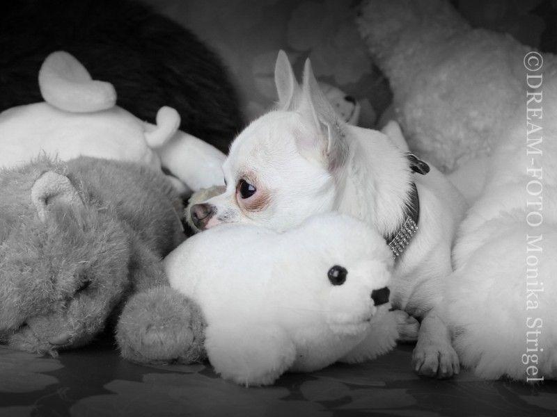Pets chihuahua uppy white cute Pets, Chihuahua, Doggy