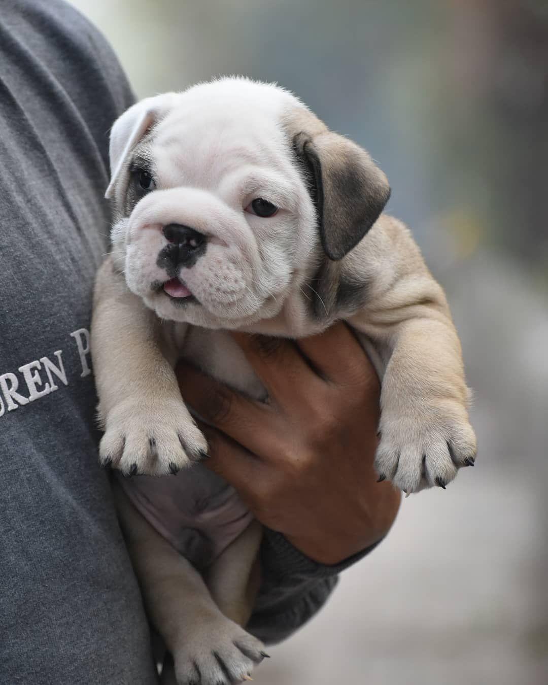 British Bulldog Puppies For Sale In 2020 Bulldog Puppies For Sale English Bulldog Puppies Bulldog