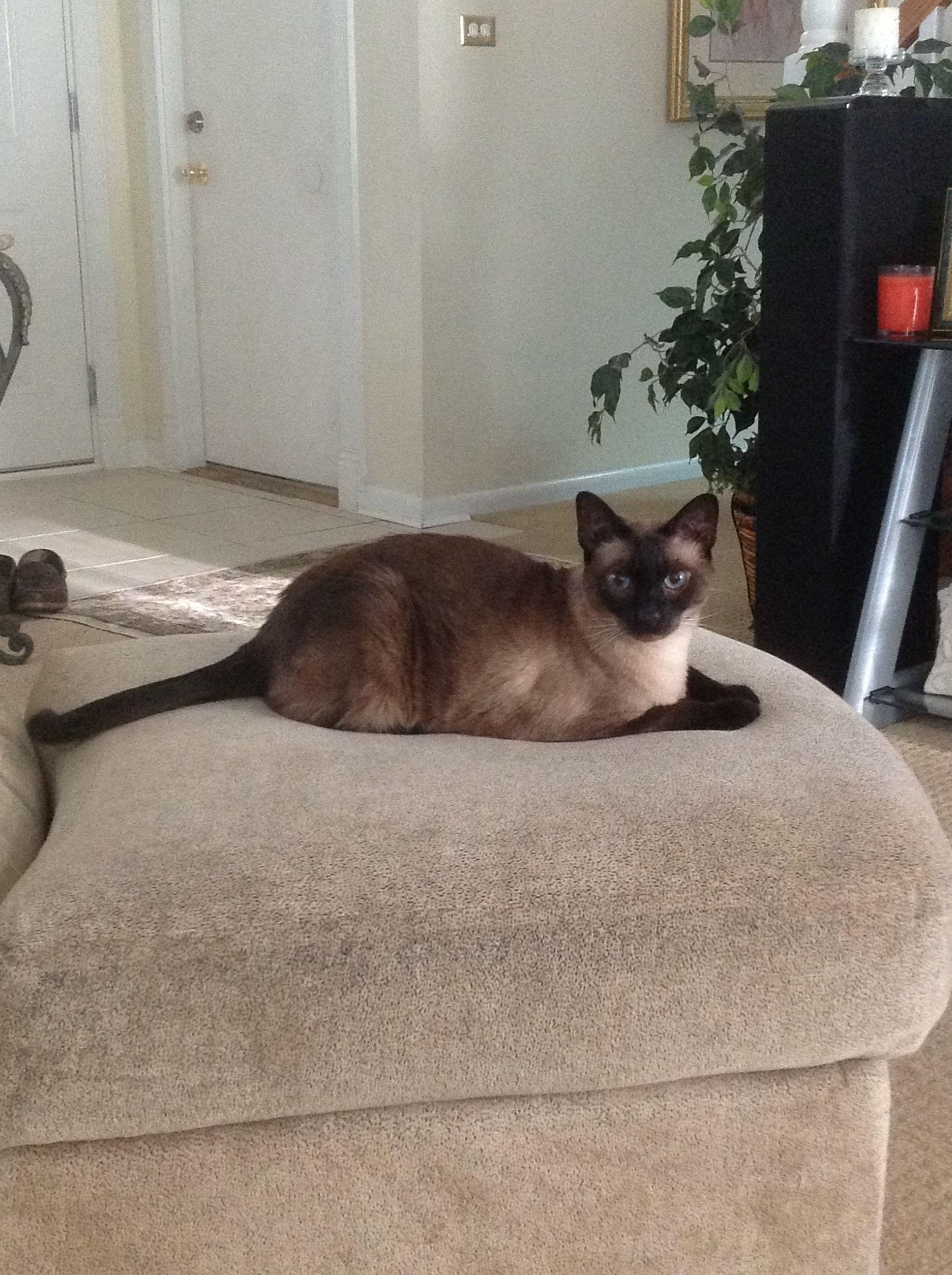 Mia Tonkinese Cat Tonkinese Cat Tonkinese Siamese Cats