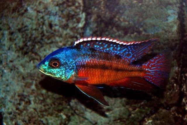 Red Empres Jpg 640 426 Protomelas Taeniolatus Red Empress Compatible Cichlids African Cichlids Tropical Freshwater Fish