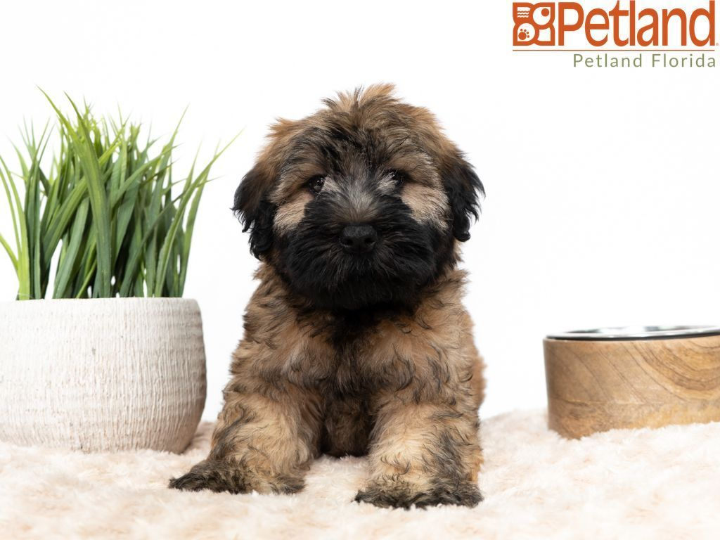 Puppies for sale terrier puppies wheaten terrier puppy