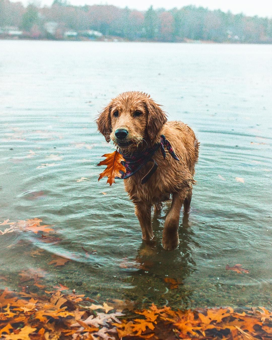 Pin By Lynn Workman On Dogs Golden Retriever Pets Dogs