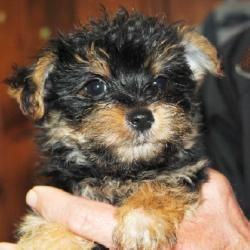 Ryder is an adoptable Yorkshire Terrier Yorkie Dog in North Augusta, SC. ADOPTION FEE: $500 (includes his neuter surgery when he is old enough). Ryder and his brother are sweet, happy, laid back boys....
