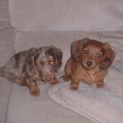 Hickory Dickory Dachshunds Home Weiner Dog Dachshund Breed