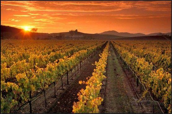 -Arrival of Autumn in the vineyards of Napa Valley.  -Llegada del Otoño a los viñedos de Napa Valley.