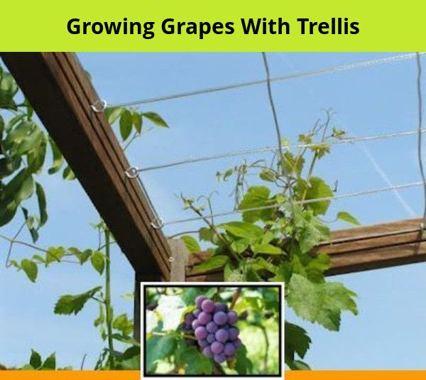 How To Grow Grapes On A Fence And Growing Grapes Indoors
