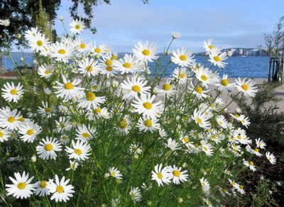 Mayweed blossoms yet Hilkka Tikka