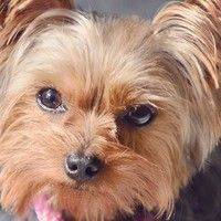 The Florida Yorkie Rescue Pack Yorkie Puppy Yorkie Rescue
