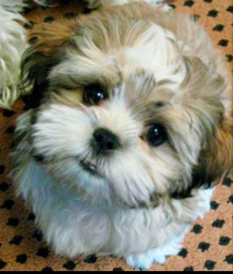 Teddy Bear Dog That Is Mixed With Colors Shichon Puppies
