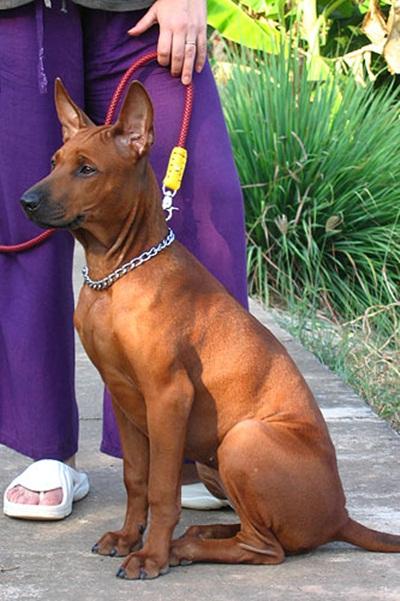 ข อม ลส น ขพ นธ ไทยหล งอาน Thai Ridgeback ส น ขประจำชาต ไทย In 2021 Dogs Thai Ridgeback Dog Breeds