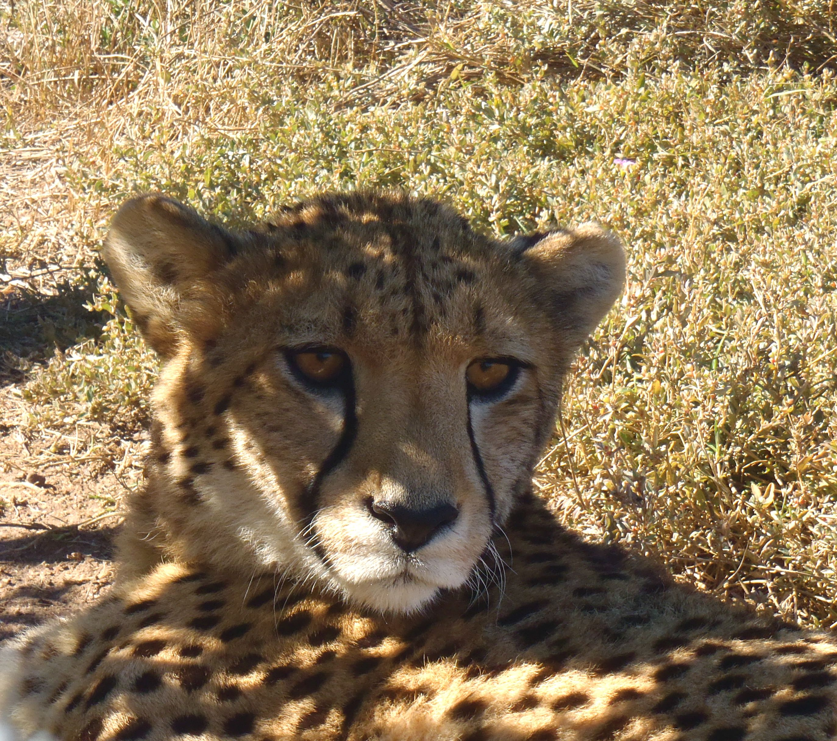 cheetah at the Garden Route Game Lodge