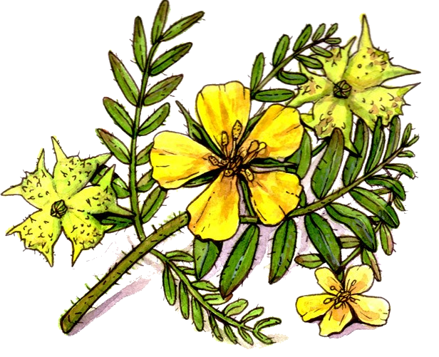 Tribulus terrestris asthenospermia home remedy