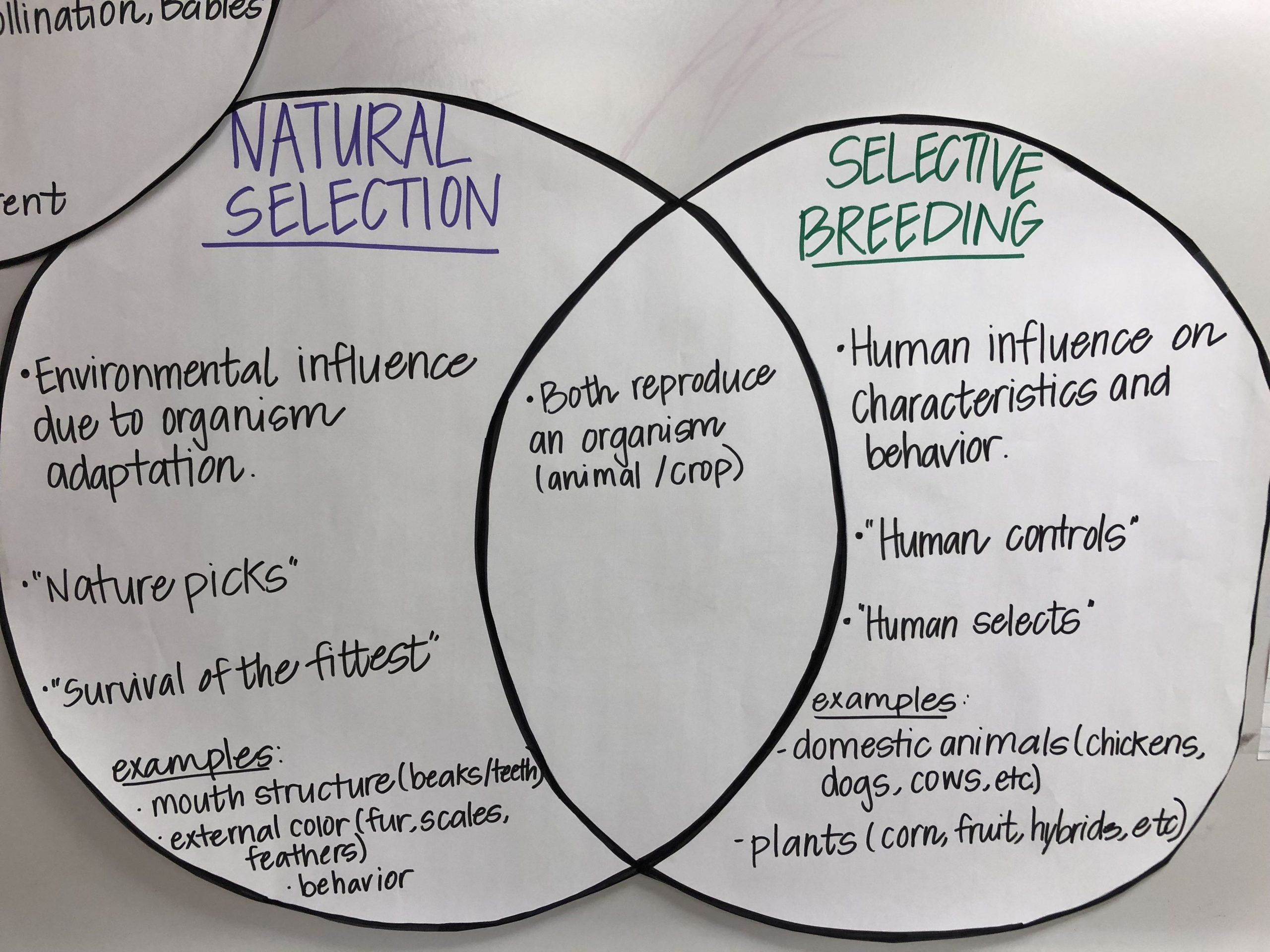 Selective Breeding Worksheet Middle School Natural