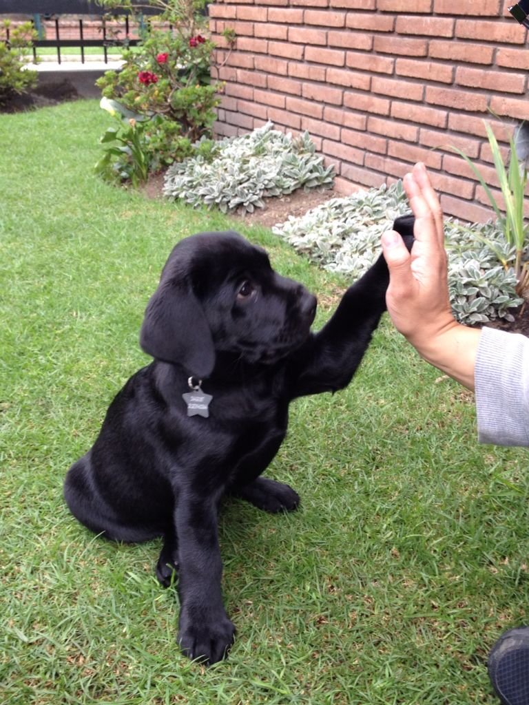 Flat Coated Retriever Pup Classic Look Trim Dogs And Kids