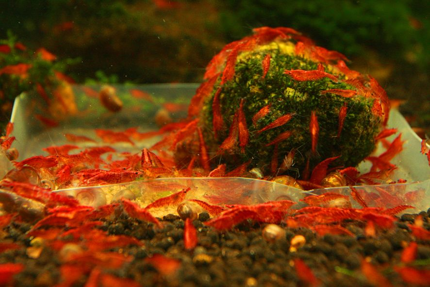 Red Cherry Shrimp. I will try this next | Fresh water fish ...